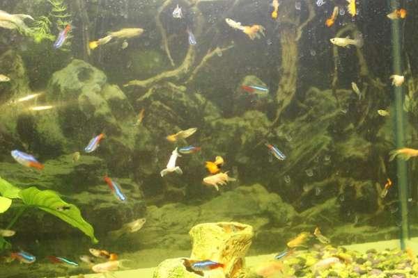 Гуппи и неоны в одном аквариуме