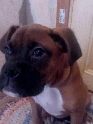 Продаётся подрощенный щенок немецкого боксёра