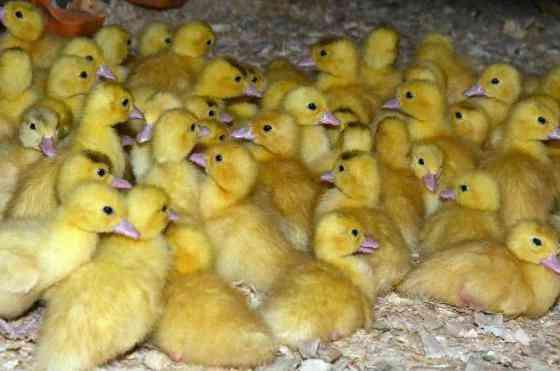прошлой неделе цыплята индюшата купить в кемерово Временная, вакансии Москве