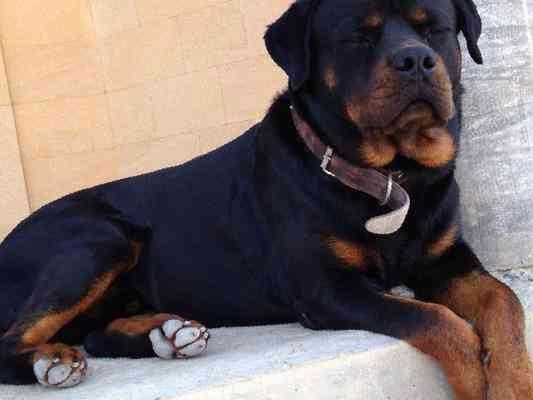Купить щенка ротвейлера в обнинске