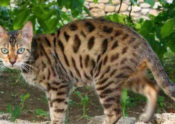 Бенгальские коты челябинск
