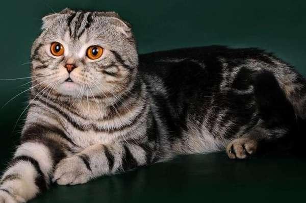 скоттиш британские котята фолд фото