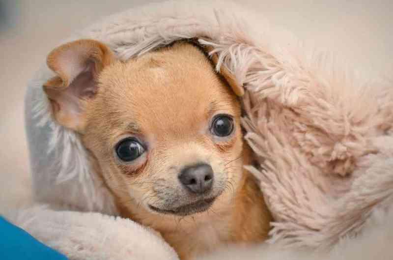 Предложения отдам вещи бесплатно в городе отдам в добрые руки щенка чихуахуа из санкт-петербурга