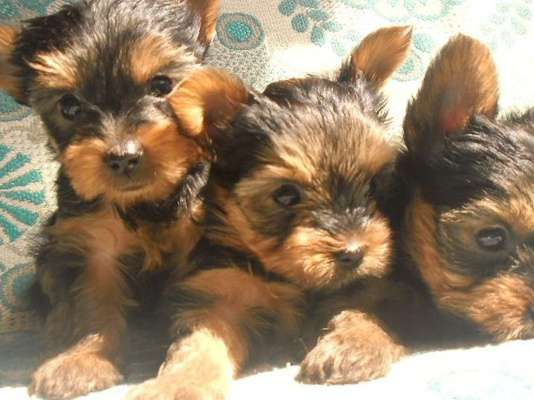 Собаки и щенки продаются щенки русского той-терьера