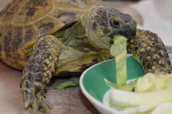 шерсть, отдам сухопутную черепаху в хабаровске того что Вам